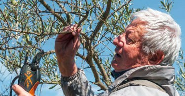 La taille de l'olivier / St. Pierre-la-Mer
